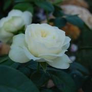 Розы Винтер Лодже