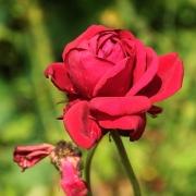 Розы Эдит Пиаф