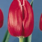 Тюльпаны Минерва