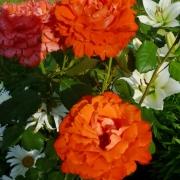 Розы Анжелика