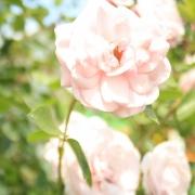 Розы Боника