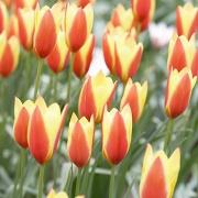 Тюльпаны Тако