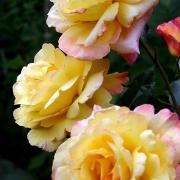 Розы Катрин Лаборде