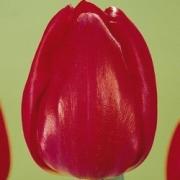 Тюльпаны Примависта