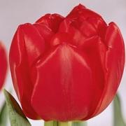 Тюльпаны Ларго