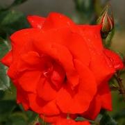 Розы Кордес Бриллант