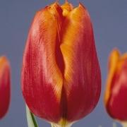 Тюльпаны Мистер Н. Дж. Буур