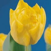 Тюльпаны Эскильстуна