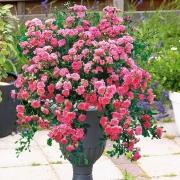 Les roses Djemma