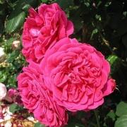 Розы Венлок