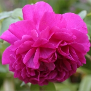 Розы Кантримен
