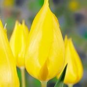 Тюльпаны Претти ин Йеллоу