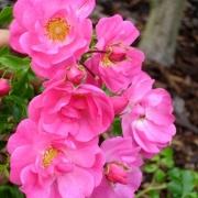 Розы Неон