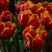 Тюльпаны Брайт Пэррот