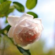 Розы Роуз Марие