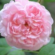 Розы Коттедж Роуз