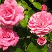 Розы Морден Белле