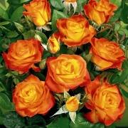 Розы Мариетта