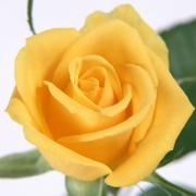 Розы Теxас