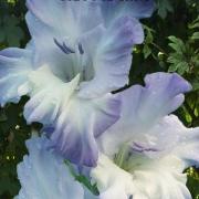 Гладиолусы Голубая Бездна