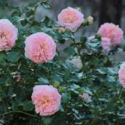 Розы Концерто 94