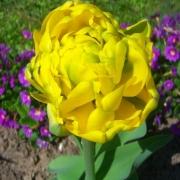 Тюльпаны Монте Карло