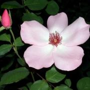 Розы Дэйнти Бесс