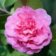 Розы Маргарет