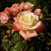 Розы Гемини