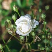 Розы Катарина Зеимет