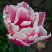 Тюльпаны Топлипс