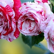Розы Сентиментал