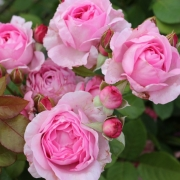 Розы Гита Ренессанс