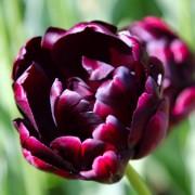 Тюльпаны Блэк Хиро