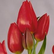 Тюльпаны Роулетт