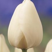 Тюльпаны Сноуфлейк
