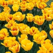 Тюльпаны Ханс Майер