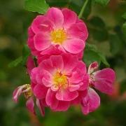 Розы Мейджик Меилландекор