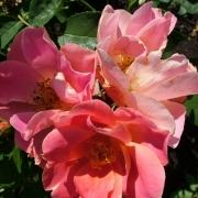 Розы Эдуард Жило