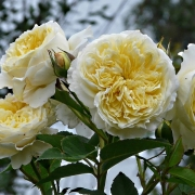 Розы Пилгрим