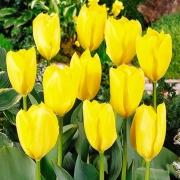 Тюльпаны Голден Пуриссима