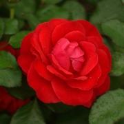 Розы Роберт Винстон