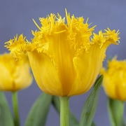 Тюльпаны Фрингед Голден Апельдорн
