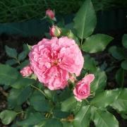 Розы Уетерсен