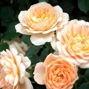 Розы Свит Дрим