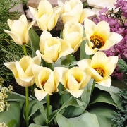 Тюльпаны Миек Телкамп