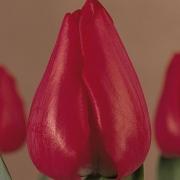 Тюльпаны Ибица