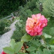 Розы Алоха