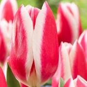 Тюльпаны Кэнди Эпл Дилайт