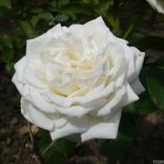 Розы Маунт Шаста